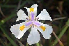 Het witte bloemcentrum met purpere en gele binnen kleur royalty-vrije stock afbeeldingen