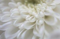 Het witte close-up van de chrysantenbloem Stock Foto's