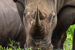 Het witte Close-up van de Hoorn van de Rinoceros Stock Afbeeldingen