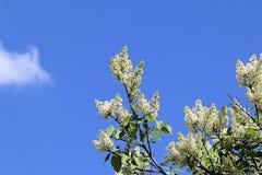 Het witte de lente het bloeien lilac uitrekken zich naar de zon en de blauwe de lentehemel stock foto