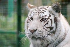 Het witte detail van het tijgergezicht stock foto