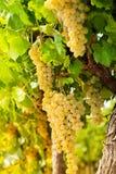 Het witte druif groeien in platteland Stock Afbeelding