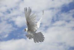 Het witte duif vliegen Royalty-vrije Stock Foto