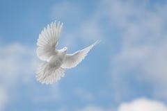 Het witte duif vliegen Stock Foto