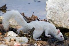 Het witte Eekhoorn Drinken bij het Meer Stock Afbeeldingen