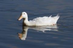 Het witte eend drijven Royalty-vrije Stock Afbeeldingen