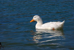 Het witte eend zwemmen Stock Afbeelding
