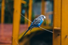 Het witte en blauwe budgie rusten stock afbeeldingen