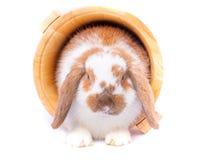 het witte en bruine verblijf van het konijntjeskonijn binnen houten emmer op witte achtergrond stock fotografie