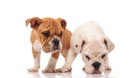 Het witte Engelse buldogpuppy neemt een geur op royalty-vrije stock afbeeldingen