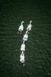 Het witte gans zwemmen royalty-vrije stock afbeeldingen