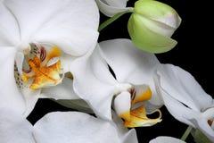 Het witte geïsoleerde close-up van de orchideeënbloesem royalty-vrije stock foto's