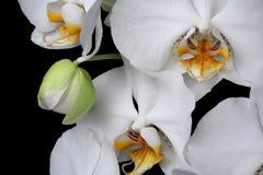 Het witte geïsoleerde close-up van de orchideeënbloesem stock afbeelding