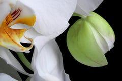 Het witte geïsoleerde close-up van de orchideeënbloesem stock foto's