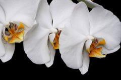Het witte geïsoleerde close-up van de orchideeënbloesem royalty-vrije stock afbeelding
