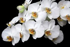 Het witte geïsoleerde close-up van de orchideeënbloesem royalty-vrije stock foto