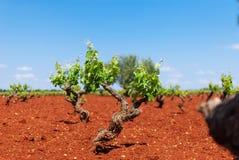 Het witte gebied van de druivenwijngaard in Spanje stock fotografie