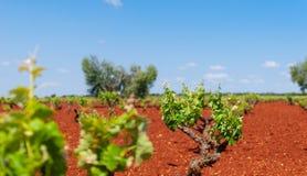Het witte gebied van de druivenwijngaard stock fotografie