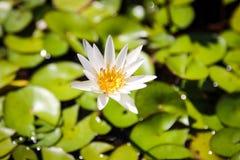 Het witte gebruik van de lotusbloembloem als achtergrond stock afbeeldingen