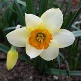 Het witte gele narcis glanzen Royalty-vrije Stock Fotografie
