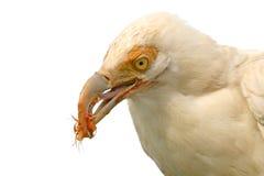 Het witte gier voeden Royalty-vrije Stock Fotografie