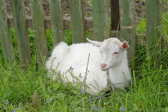 Het witte goatling Stock Fotografie