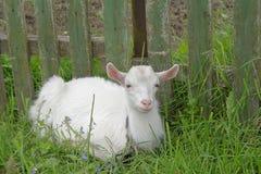 Het witte goatling Royalty-vrije Stock Foto