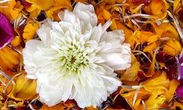 Het witte goudsbloem zwemmen Royalty-vrije Stock Afbeeldingen