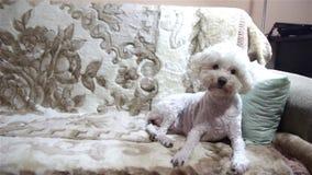 Het witte hond ontschorsen stock footage