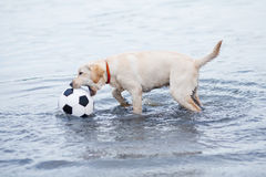 Het witte hond spelen Stock Foto