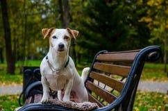 Het witte hond stellen Stock Foto's