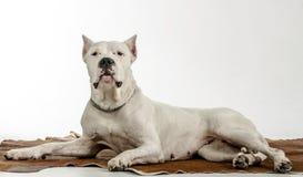 Het witte hondras Dogo Argentino, ligt op een huid Royalty-vrije Stock Foto