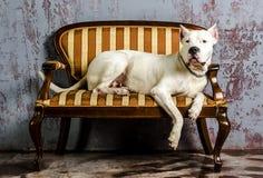 Het witte hondras Dogo Argentino, ligt op een oude mooie laag Stock Foto's