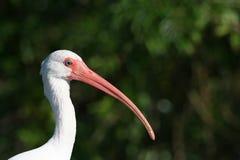 Het witte hoofdschot van de Ibis Stock Foto's