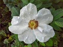 Het witte Hooi van Roseraie DE l ` royalty-vrije stock fotografie