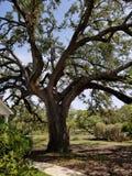 Het witte huisboom van Texas royalty-vrije stock afbeeldingen