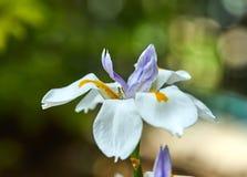 Het witte Irisbloem groeien in aard stock afbeelding