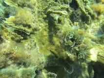 Het witte jamaicensis van Padina van rolalgen groeien op koraal stock foto's