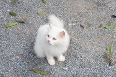 Het witte kat staren die ziet vooruit eruit zien Stock Foto