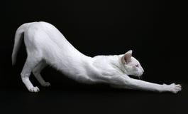 Het witte kat uitrekken zich Royalty-vrije Stock Foto's