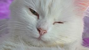 Het witte kattenportret dichte omhoog liggen op bed stock video