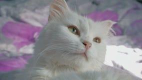 Het witte kattenportret dichte omhoog liggen op het bed stock videobeelden