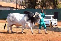 Het witte lood van de Brahmaanstier door managerfoto Royalty-vrije Stock Fotografie