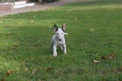 Het witte miniatuurbull terrier-puppy stellen royalty-vrije stock foto's