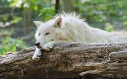 Het witte noordpoolwolf liggen Royalty-vrije Stock Fotografie