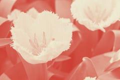 Het witte omzoomde tulpenwittebroodsweken bloeien Selectieve nadruk close-up koraalduotone royalty-vrije stock afbeeldingen