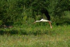 Het witte ooievaar vliegen royalty-vrije stock fotografie