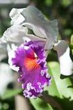 Het witte orchideeën tot bloei komen Stock Afbeeldingen