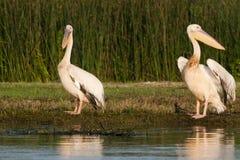 Het witte Paar van Pelikanen Royalty-vrije Stock Afbeeldingen