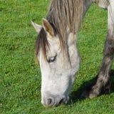 Het witte paard in de berg stock fotografie